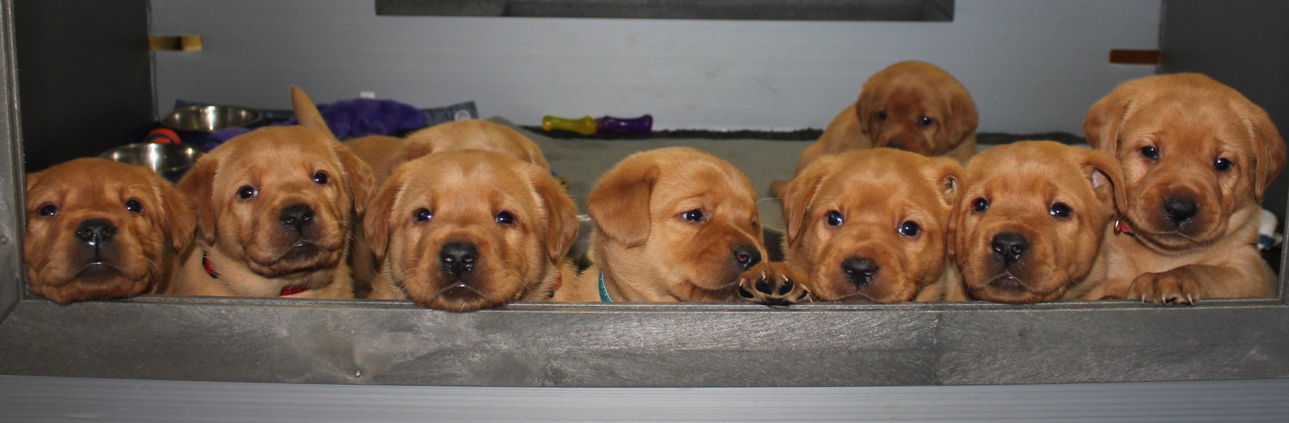 Fox Red Labrador Retrievers From Blueberry Hill Labradors