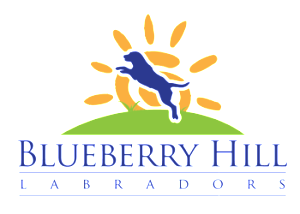 Blueberry Hill Labrador
