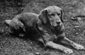 """""""Ben of Hyde"""" Fox Red Labrador Retriever"""