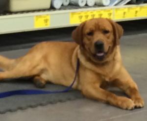 Jethro, CGC, Certified Therapy Dog Fox Red Labrador Retriever